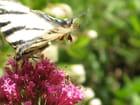 Papillon vole...