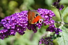 Papillons de chez nous