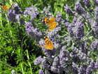 Papillons sur lavande