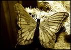 Papillon sepia