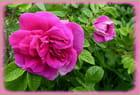 Parfum de rose (Rugosa Hansa)