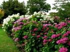 Parterre d'hortensia  jardin des plantes de Caen