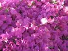 Parterre rose