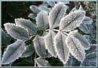 Parure d'hiver pour le mahonia aquifolia