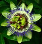 Passiflora verte