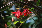 passiflores rouges