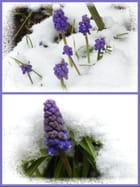 Pauvres petits muscaris dans la neige ce matin