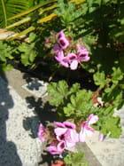 Pélargonium quercifolium