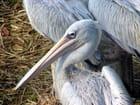 Pélicans gris