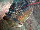 Pépère le homard