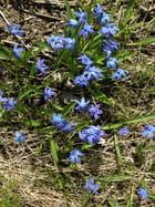 Perce-neige-bleu