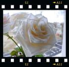 Perle d'eau sur rose blanche