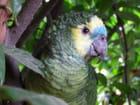 Perroquet amazone à front bleu