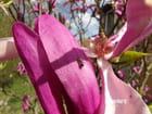 Pétale de magnolia et son visiteur