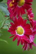 Pétales rubis-coeur jaune