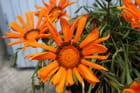 Petalle d'orange