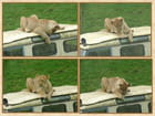 Petit jeu d'une lionne