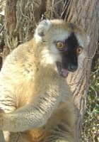 Petit lémurien de Madagascar