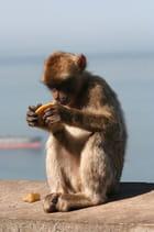Petit singe du détroit