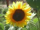 Petit soleil - tournesol