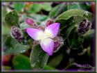 Petite fleur