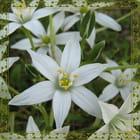 Petite fleur blanche ...