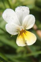 petite fleur de montagne