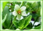 Petite fleur de pommier d'amour