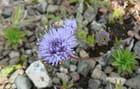 Petite fleur sauvage inconnue du Cap de Carteret