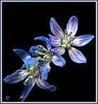 Petite jacinthe