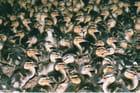 Petits canards tous doux