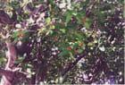 Petits fruits du banian