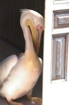 Petros le Pelican