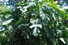 Philodendron gigantesque