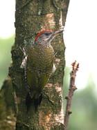 Pic vert femelle