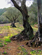 Pieds d'oliviers