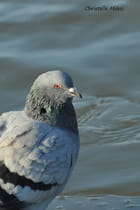 ...Pigeon...