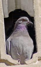 Pigeon au balcon