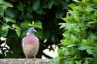 Pigeon aux aguets