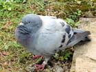 Pigeon bagué,