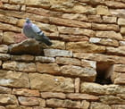 Pigeon et vieilles pierres