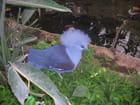 Pigeon goura couronné