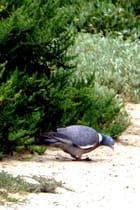 Pigeon picore dans le marais