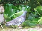 Pigeon se rafraîchissant