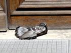 Pigeon Viennois