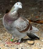 Pigeon voyageur (1)