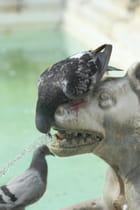 Pigeons assoiffés