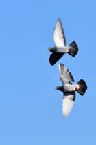 Pigeons en vol