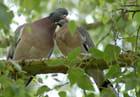 Pigeons ramiers (1)