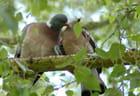 Pigeons ramiers (2)